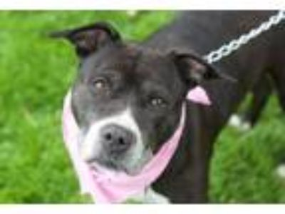 Adopt Delilah a Staffordshire Bull Terrier
