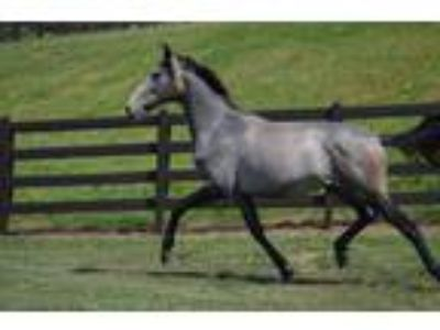 Fast Grey Lusitano Filly