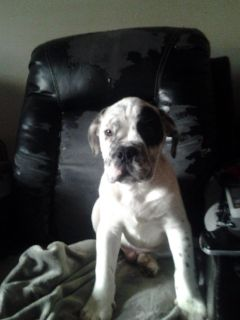 Full Blooded Olde English Bulldog Puppy