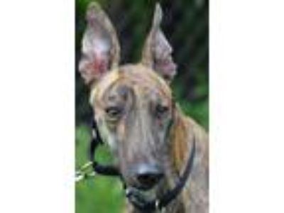Adopt Startie a Greyhound