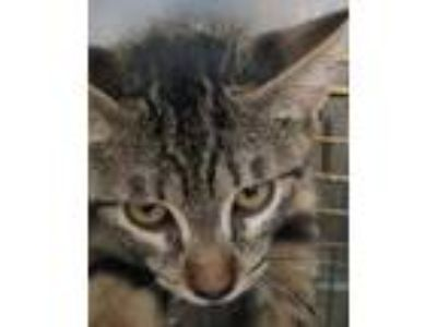 Adopt KITTY ONE a Domestic Short Hair