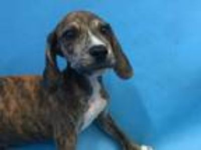 Adopt Lee a Hound, Mixed Breed