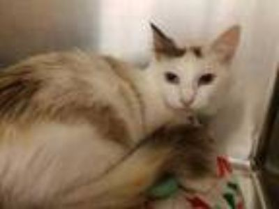Adopt Solstice a White Domestic Shorthair / Domestic Shorthair / Mixed cat in