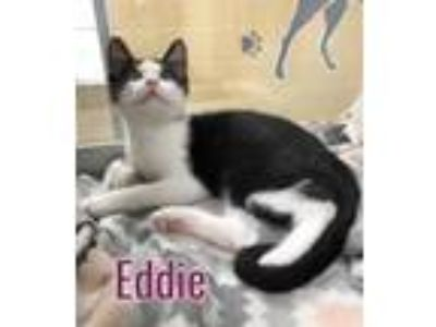 Adopt Eddie 115762 a All Black Domestic Shorthair (medium coat) cat in Joplin