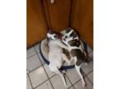 Adopt Mika a American Staffordshire Terrier, Catahoula Leopard Dog