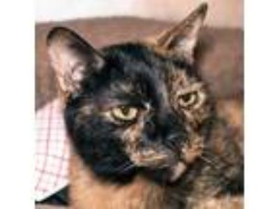 Adopt Ginger a Domestic Shorthair / Mixed cat in Austin, TX (24897672)