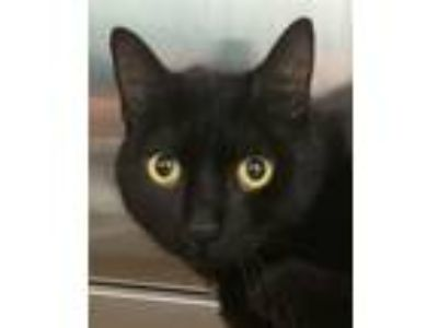 Adopt Scarlet a Domestic Short Hair