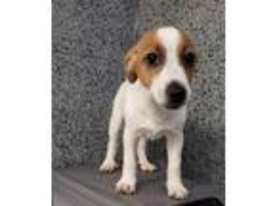 Adopt Milo a White - with Brown or Chocolate Jack Russell Terrier / Mixed dog in