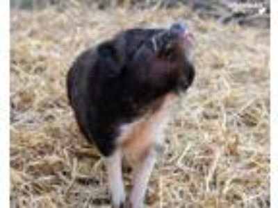 Adopt Cinderella a Pig (Potbellied) farm-type animal in White Plains
