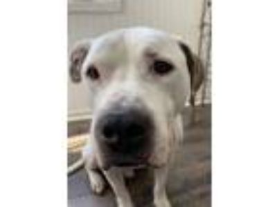 Adopt Gavin a Pit Bull Terrier, American Staffordshire Terrier