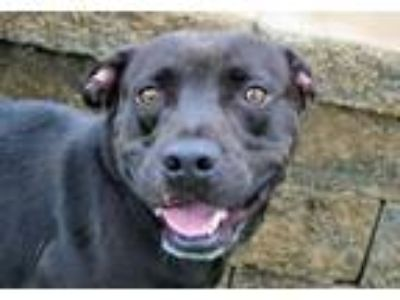 Adopt Shane a Pit Bull Terrier, Mixed Breed