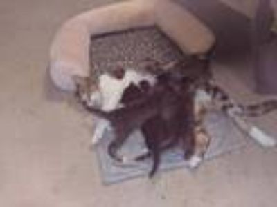 Adopt Kittens a Brown Tabby Domestic Mediumhair / Mixed cat in Cross Junction