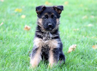 German Shepherd Dog PUPPY FOR SALE ADN-52144 - German Shepherd Puppy For Sale