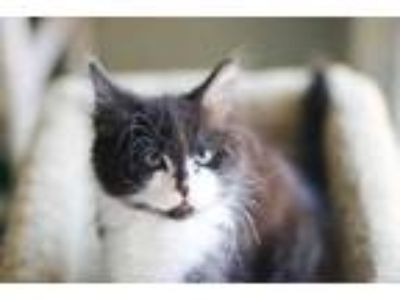 Adopt Dio a All Black Domestic Shorthair / Domestic Shorthair / Mixed cat in