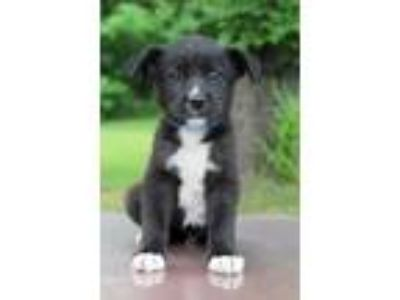 Adopt Fred a Black - with White Labrador Retriever / Pointer / Mixed dog in