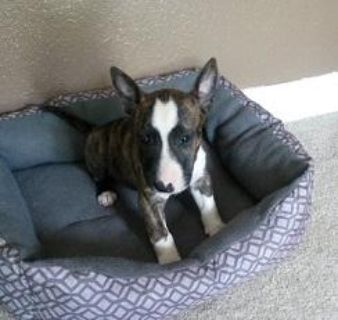 yyth Bull Terrier puppies for sale