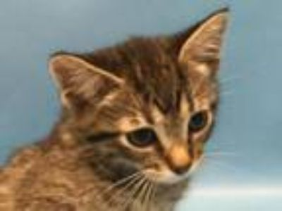 Adopt Honda a Domestic Short Hair