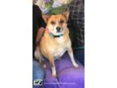 Adopt Adorable Jenny a Australian Shepherd, Collie