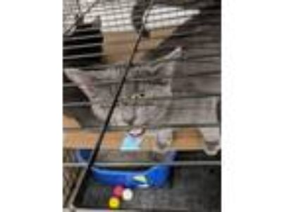 Adopt Larry a Domestic Shorthair / Mixed (short coat) cat in Coshocton