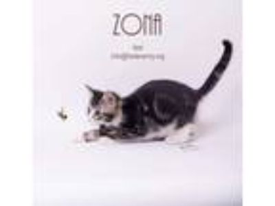 Adopt Zona a Gray, Blue or Silver Tabby Domestic Shorthair (short coat) cat in