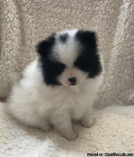 Absolutely Gorgeous !Pomeranian