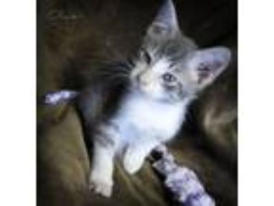 Adopt OLIVER a Gray, Blue or Silver Tabby Domestic Shorthair (short coat) cat in