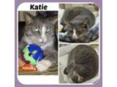 Adopt KATIE a American Shorthair