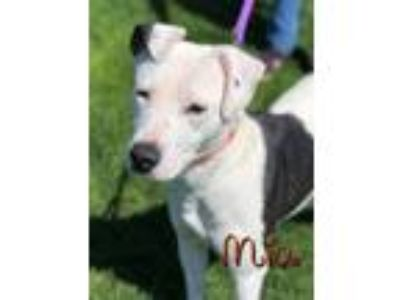 Adopt Mia a Black Border Collie / Labrador Retriever / Mixed dog in Bellevue