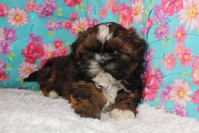 Imperial Shihtzu Puppies With Full AKC