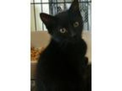 Adopt Dixon - in foster care a Domestic Short Hair