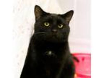 Adopt Nicodemus a Domestic Shorthair / Mixed cat in Austin, TX (24278920)