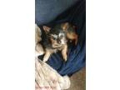 Adopt Dixie a Black - with Tan, Yellow or Fawn Shih Tzu / Dachshund / Mixed dog