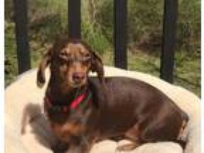 Craigslist - Dogs for Adoption Classified Ads in Summerfield