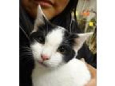 Adopt Louie a Black & White or Tuxedo Domestic Shorthair / Mixed (short coat)