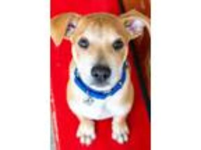 Adopt GINGY a Pit Bull Terrier, Labrador Retriever