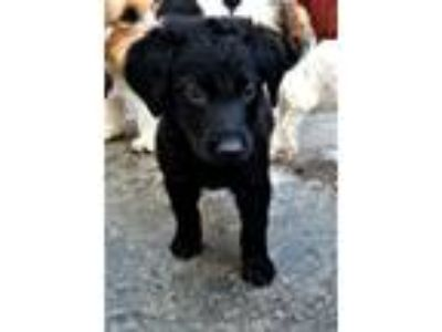 Adopt ALISON AND ANGUS a Labrador Retriever, Australian Cattle Dog / Blue Heeler