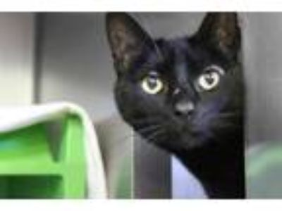 Adopt SUNAMIE a All Black Domestic Shorthair / Mixed (short coat) cat in