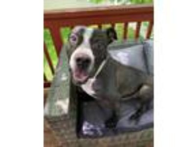 Adopt Tommy a Black - with White American Staffordshire Terrier / Boxer / Mixed
