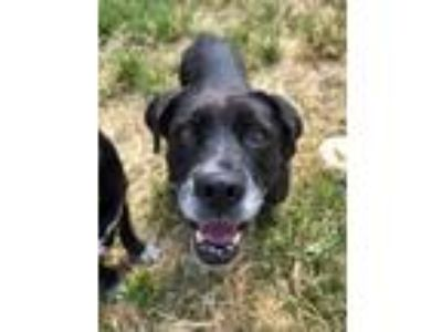 Adopt London a Black Labrador Retriever / Mixed dog in Fort Worth, TX (25600917)