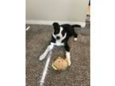 Adopt Dot a Black - with White Border Collie dog in Meridian, ID (25298076)
