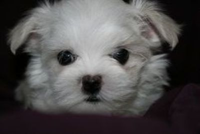 Maltese PUPPY FOR SALE ADN-103984 - Maltese Puppy Male