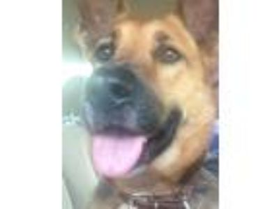 Adopt Coy a Black - with Tan, Yellow or Fawn German Shepherd Dog dog in Concord