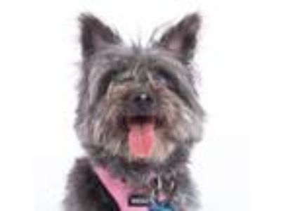 Adopt Noe a Cairn Terrier, Mixed Breed
