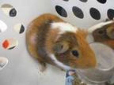 Adopt Rocky a Tan or Beige Guinea Pig / Guinea Pig / Mixed small animal in