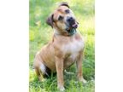 Adopt Shelby a Tan/Yellow/Fawn Mastiff / Mixed dog in Aurora, CO (18594165)