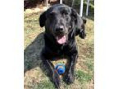 Adopt Cali #6 a Black Labrador Retriever