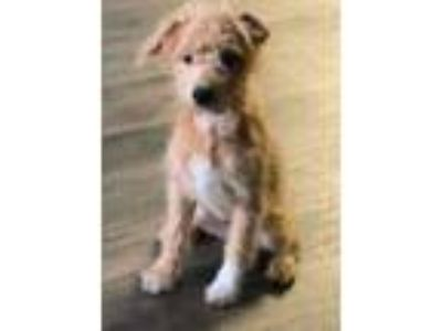 Adopt Blu a Tan/Yellow/Fawn - with White Goldendoodle / American Eskimo Dog /