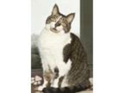 Adopt Destiney a Domestic Short Hair