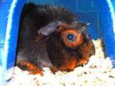 Adopt SQUIRREL a Guinea Pig