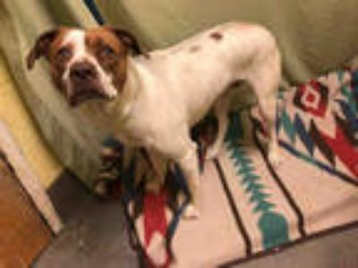 Adopt *MARLEY a White - with Brown or Chocolate Labrador Retriever / Mixed dog